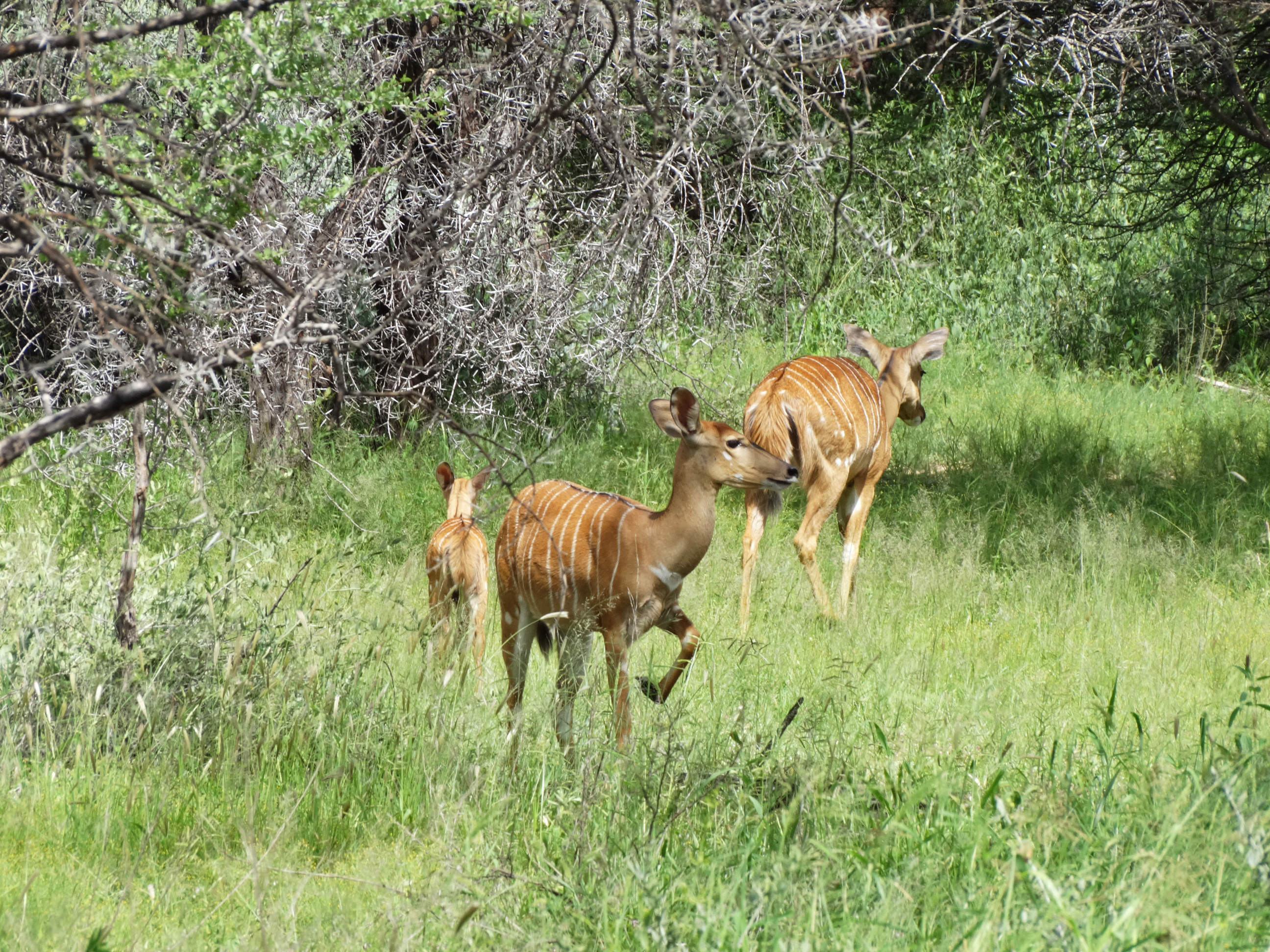 Nyalas and Calf (fem)